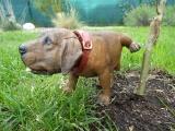 Soška hnědý čůrající pes s kývací hlavou
